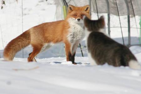 キタキツネと猫2