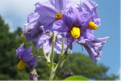 ピルカの花