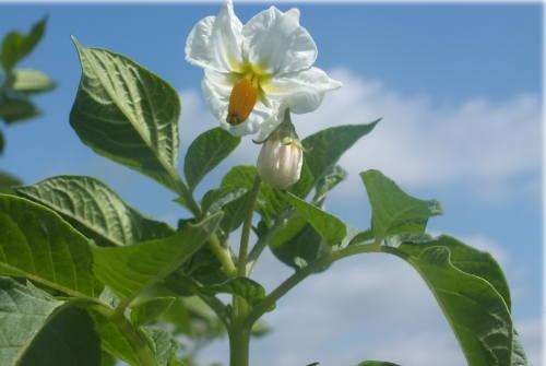 コロールの花