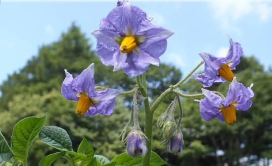 タワラムラサきの花
