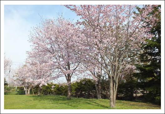 角田公園のサクラ