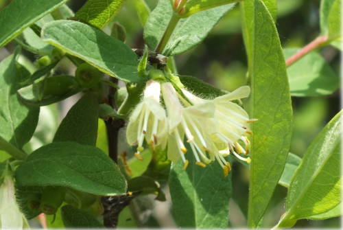 ハスカップの花