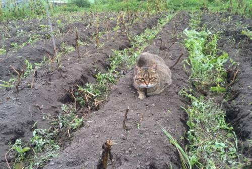 じゃがいも畑とちびこ